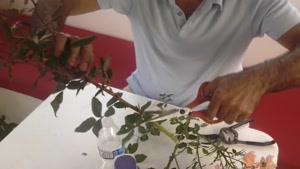 آموزش قلمه زدن گل رز در فصل پاییز