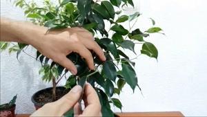 آموزش نگهداری از گیاه فیکوس بنجامین