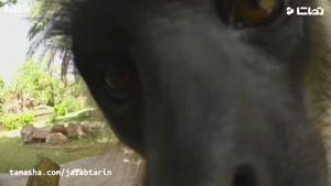 tamasha- عکس العمل احساسی میمون ها به یک میمون مصنوعی که دوربین شده !؟