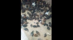 نیمچه ۲ماهه مرغ. بوقلمون