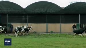 کشف ارتباطات کلامی میان گاوها
