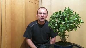 چگونه بونسای گیاه کراسولا در منزل درست کنیم