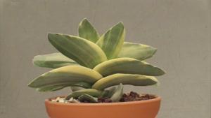 گونه های مختلف گیاه کراسولا