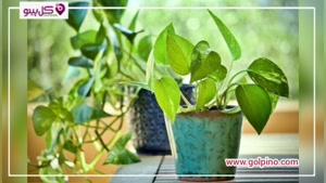 پتوس : بهترین گیاه آپارتمانی