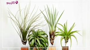 تیلاندسیا : گیاهی عجیب و بدون نیاز به خاک