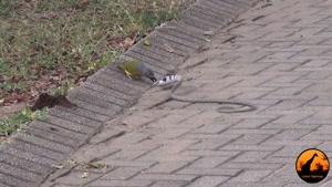 پرنده در مقابل مار