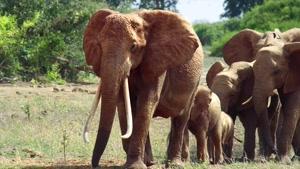 تریلر مستند ملکه فیل The Elephant Queen 2019