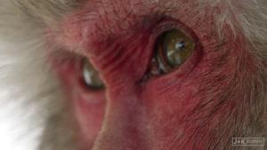 مستند میمون های برفی در ژاپن