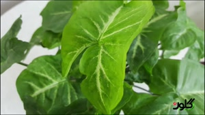 اسرار سینگونیوم همیشه سبز و دوست داشتنی