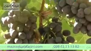 انگور بلک سیدلس black seedless 099151313820