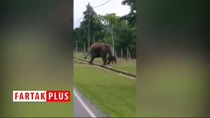 عشق شگفت انگیز فیل مادر به بچه اش