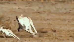 شکار ناموفق حیوانات وحشی