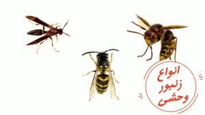 مقایسه زنبور وحشی و زنبور عسل | سم قوی برای دفع زنبور