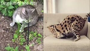 معرفی گرانترین نژاد گربه ها