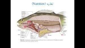 21 Osteichthyes - 4 Nutrition