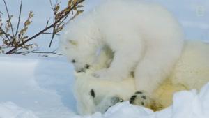 تصاویری جالب از زندگی یک توله خرس قطبی