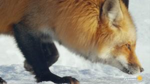 تصاویر جالب از شکار کردن روباه قرمز در برف