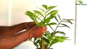 پرورش و تکثیر گیاه زامیفولیا
