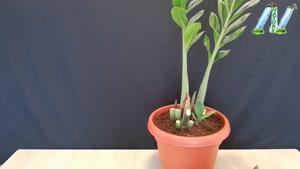 تکثیر گیاه زاموفیلیا از طریق قلمه زدن ساقه