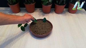 تکثیر گیاه زاموفیلیا از طریق برگ ها