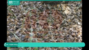 نحوه تشخیص ویروس فلج زنبوران بالغ