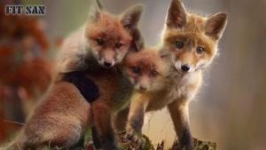 چرا روباه حیله گر است