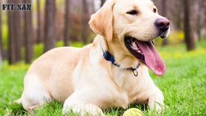 همه چیز درباره سگ وفادار لابرادور رتریور