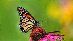 لحظه زیبای بیرون آمدن پروانه از پیله