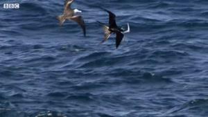 پرندگان دریایی در هوا می جنگند