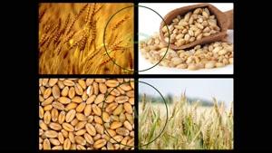 لیبراتور | liberator بهترین سم علف کش برای مزارع گندم زمستان