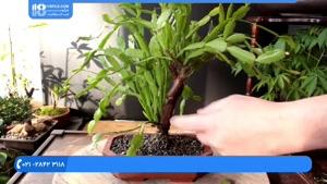 آموزش پرورش گیاه تاج خروس _ درخت بن سای