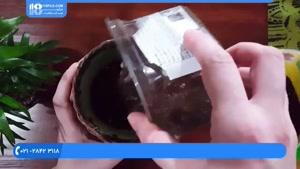 نحوه کاشت گیاه زیبای نخل اریکا پالم