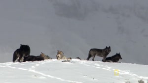 صحنه های زیبا از گرگ های پارک یلواستون در شکار