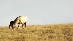 حمله ناموفق پلنگ به کُره اسب در گلستان