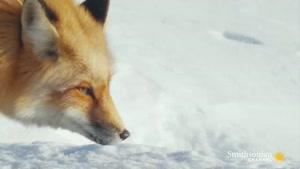 مستند از شکار کردن روباه قرمز در برف