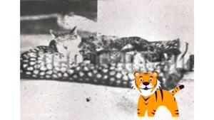 ببری خان گربه محبوب ناصرالدین شاه