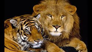 بزرگترین و قوی ترین گربه سانان