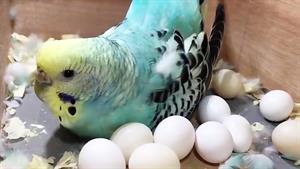 کلیپ جوجه های مرغ عشق از تخم تا بزرگ شدن