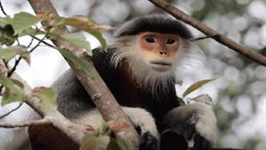 مستند میمون های درحال انقراض