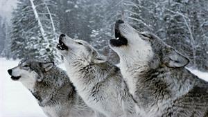 مستند کوتاه شکار گرگ های یلواستون