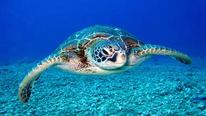 مستند زیبای لاک پشت های دریایی
