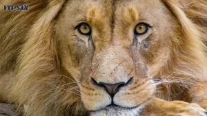 مستند بی رحم ترین شیرهای آفریقا