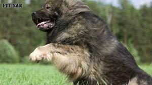 قدرت نبرد سگ قدرجونی و سگ قفقازی
